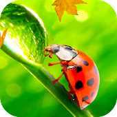 Ladybug Video Wallpaper HD