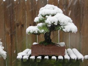 dicas para bonsai no inverno