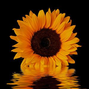 Sunflower 3 stack flood 3 small  oil.jpg