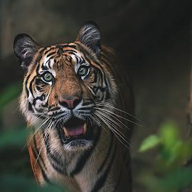 Sumatran tiger by Ondřej Chvátal - Animals Lions, Tigers & Big Cats ( sigma, big, fur, feline, predator, fauna, tiger, sumatran, portrait, look, eyes, famale, nikon, cat, carnivore, animal, animals, detail, zoo, wild, funny, wildlife,  )
