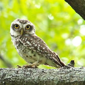 Eyes on you..! by Balaji Arumugam - Animals Birds ( bird, owlet, sigma, green, owl, india, coimbatore, feather, birding, animal, eyes )
