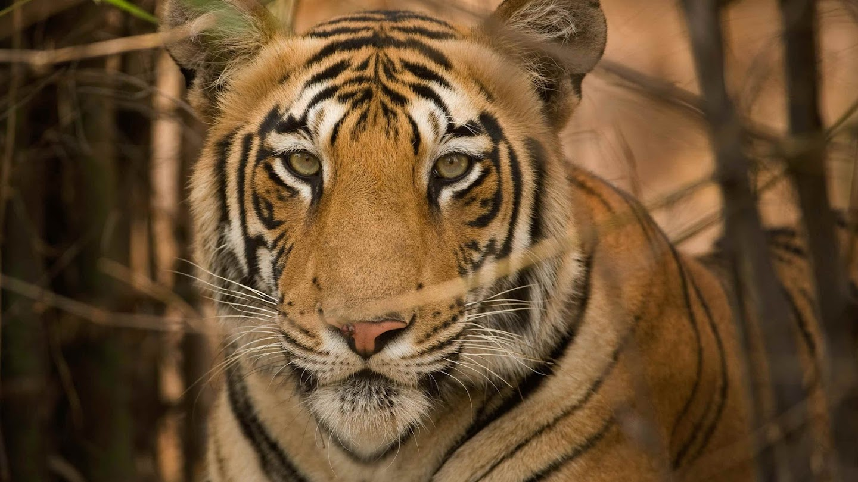 Watch Wild India live