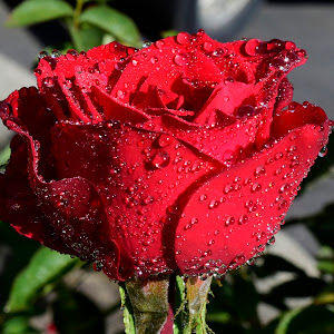 Roses and other flowers 198.JPG