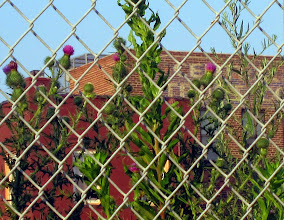 Photo: Thistles growing behind the Central Trust Bank, seen from the University Avenue side.