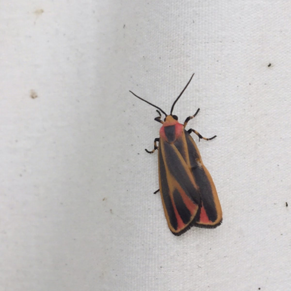 Painted Lichen Moth