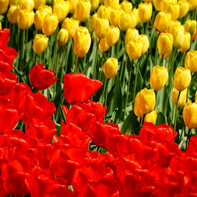 COMBINATION OF RED ND YELLOW by Muthu Ravi - Nature Up Close Flowers - 2011-2013 ( red, nature, bright, grass, keukenhof, tulips, yellow, leaves, flowers, garden )
