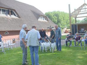 Photo: Rubriek 6: boerlammeren geboren in 2012.  1a. Billy 1 van P. van Haperen,  1b. Billy 2 van P. van Haperen,  1c. Maria 6 van K. van Dongen.