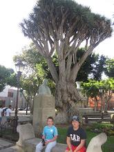 Photo: Drago centenario en la Plaza del Adelantado