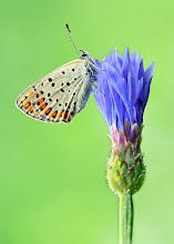 Photo: Lycaena tityrus, Cuivré fuligineux / Argus myope http://lepidoptera-butterflies.blogspot.fr/