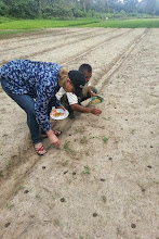 Photo: Direct seeding rice with Pak Aep in SRI Lovely, Sik, Kedah, Malaysia