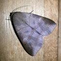 unknown Lepidopteran