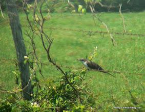 Photo: Yellow-billed Cuckoo, Galveston