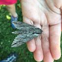 Plebeian Sphinx Moth