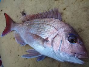 Photo: 今年、エサ釣りで初のお魚「真鯛」です!