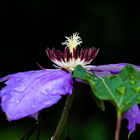 Clematis after the rain by Ed Stines - Flowers Single Flower ( magenta, white tipped, clematis, usa, wilson, water fall flower, nc, purple, vine, flower,  )