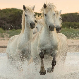 Galloping through the water by Helen Matten - Animals Horses ( water, galloping, mares, wild, horses, camargue, white, france )
