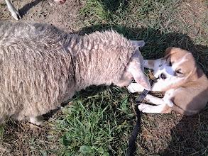 Photo: Käytiin töissä kattomassa lampaita, Helmi oli esimerkillinen.