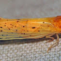Derbid Planthopper