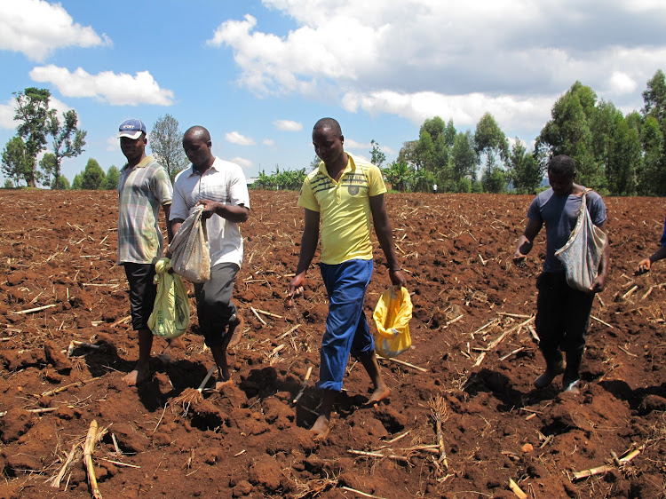 Farmers plant maize in Cherangany, Trans Nzoia county