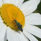 Thick-legged Flower Beetle