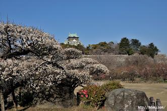 Photo: 咲きそろったレストハウス前の南高梅と天守閣の取り合わせは観梅シーズン前半の定番撮影スポット。(2014,02,23)
