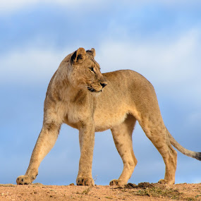 Lion looking back by Arend Van der Walt - Animals Lions, Tigers & Big Cats ( clouds, lion, looking back, south africa, madikwe )