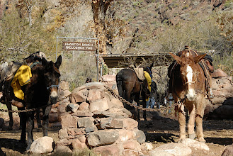 Photo: The Mules of Phantom Ranch