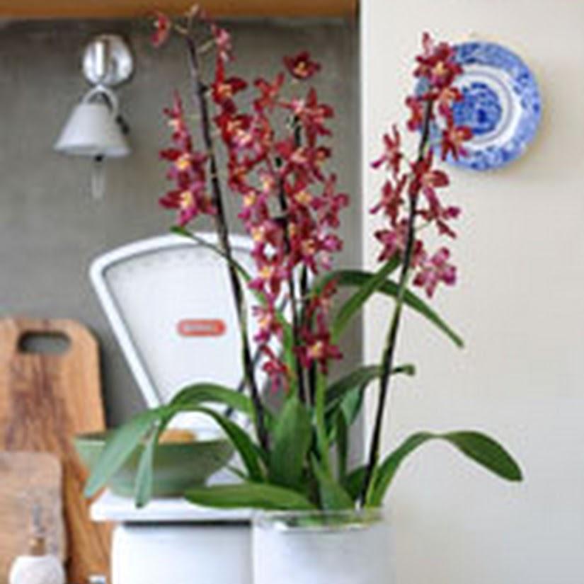 Orquídeas - La cambria