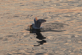Photo: Seagull at sunset