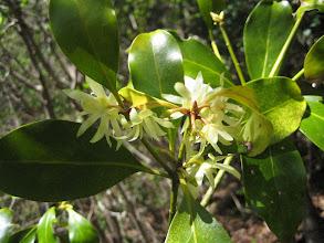 Photo: シキミ(シキミ科) 2009.4.23 宇連山にて。枝を仏壇やお墓に供えたりします。    樹皮や葉からは線香や抹香を作ります。