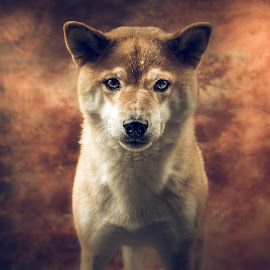 Don´t come any closer! by Astrid Kallerud - Animals - Dogs Portraits ( pets, dog portraits, shiba, dogs, animal, animals, dog, pet, dog portrait )