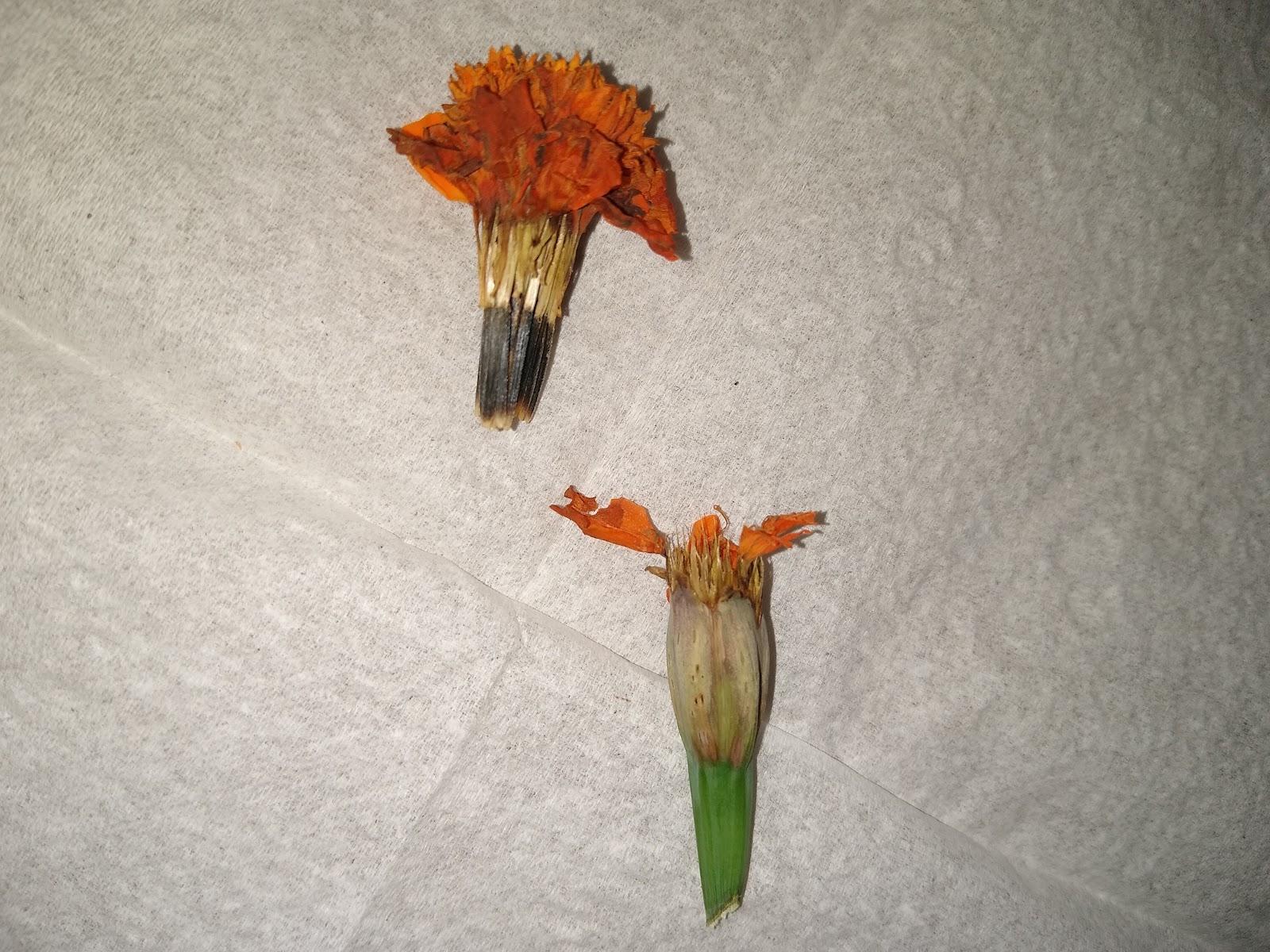 harvesting marigold seeds image