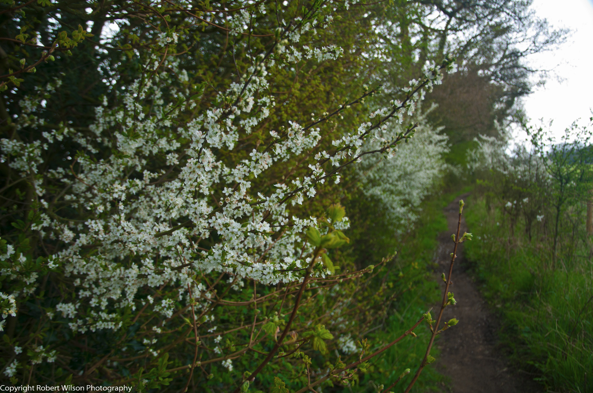 Photo: Hawthorne Blossom along the path leading to Upper Woodend Farm