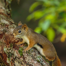 Red Squirrel by Jeff McVoy - Animals Other Mammals ( red, squirrel, green, mammal, red squirrel, tree, animal )
