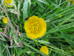 Photo: 21 Jun 13 Priorslee Lake: A buttercup that is quite different in form from (Ed Wilson)