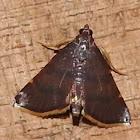 Yellow-fringed dolichomia moth