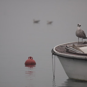 The boss by Jaksa Kuzmicic - Animals Birds ( seagull )