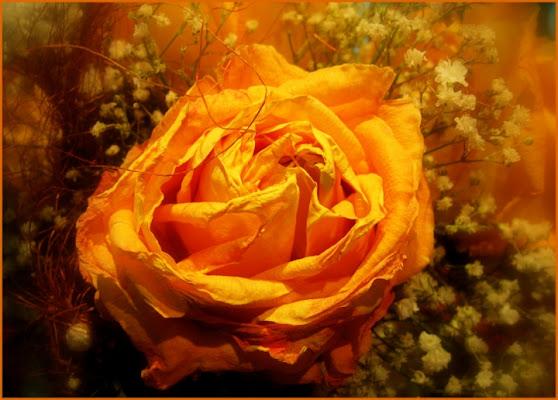 Rosa. di sole62