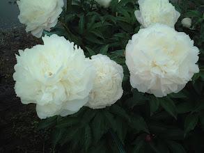 Photo: 白鳥 多花性で芳香強く花保ちが良い