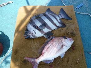 Photo: な、何と!イシダイと真鯛のダブル!