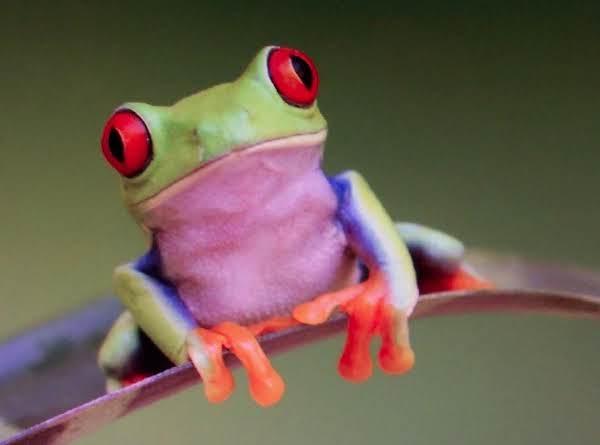 Fried Frog Legs....gramps Recipe