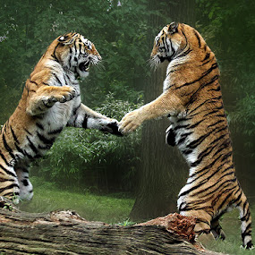 You Want a Piece of Me? by John Larson - Animals Lions, Tigers & Big Cats ( fantastic wildlife,  )