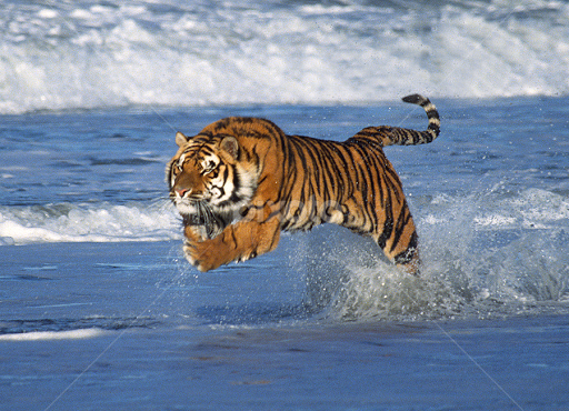 Bengal tigers running
