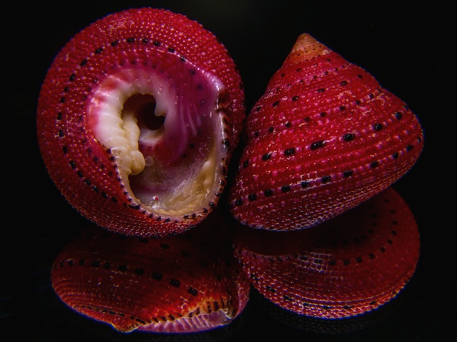 Strawberry Top Sea Shell by Dave Walters - Artistic Objects Still Life ( macro, sea shells, colors, nature up close, lumix fz2500,  )