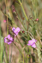 Photo: Marsh Gerardia (Agalinis Maritima) is relatively uncommon; it can be found in the upper marsh where it is somewhat drier.