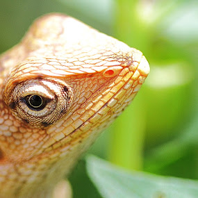 He's got the eye! by Vamsi Korabathina - Animals Reptiles
