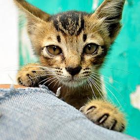 Hangin cool by Irfan Maulana - Animals - Cats Portraits ( cool, hangin, hanging, cat )