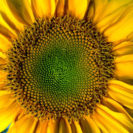 Sunflower by Asif Bora - Instagram & Mobile Other (  )