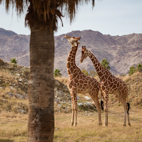 Love & Affection by Jeffrey Martin - Animals Other Mammals ( love, giraffe, affection, animals,  )