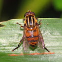 Hover Fly or Syrphid Fly